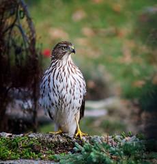 a visitor on my deck! (bonnie5378) Tags: hawk ngc onmydeck photomix avianexcellence eiap qualitypixels grrreatworks naturescarousel naturewithallitswonders ilovehorsesandallgodscreatures nov2012 bestevergolden