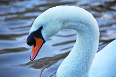 River jewel (Kevin Hughes 348) Tags: portrait water birds cheshire waterbird chester droplet fowl muteswan cygnusolor riverdee kevinhughes thewonderfulworldofbirds mygearandme
