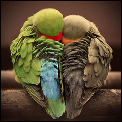 One heart and one soul (frischauge) Tags: blue red 2 two color green 20d love nature colors birds animals canon germany 1 colorful close heart sleep canon20d feather relationship together heads trust lovebirds closeness shape lovebird efs ef inlove quietness twosome flickrchallengegroup flickrchallengewinner hearshaped wshome wwwfrischaugede wsnature