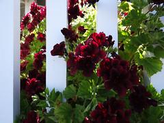 Friday, I'm in love (Home Land & Sea) Tags: flowers newzealand white fence nz geranium napier sonycybershot deepred hawkesbay pelargonium bluffhill hff orshouldthatbe fencedfriday homelandsea dschx100v