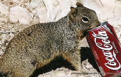 Hipster squirrel (gfrison) Tags: wild arizona animal squirrel cola drink grandcanyon coke advertisement cocacola coca selvatico scoiattolo pubblicit