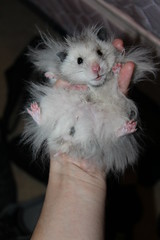 Extra large cotton ball