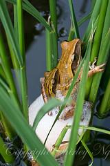 20121202-20121202img_3007 (shirl6900) Tags: nature singapore amphibian eosm polypedatesleucomystax fourlinedtreefrog ef50mmf25macrolens