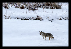 On the Hunt (jpeder55) Tags: coyote animal nationalpark tetons hunt winternature