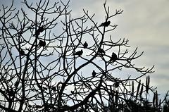 Tortore_Streptopelia turtur (Jacopo Longu JEKKEPE) Tags: sardegna tortora nature nikon nuvole sardinia natura silouette uccelli ficus albero animale piccione controluce santantioco uccello fico piccioni uccellimigratori nikond5100