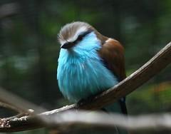 blue breasted bird (ranchodon) Tags: california canon ngc specanimal mygearandme mygearandmepremium flickrstruereflection3 flickrstruereflection4 rememberthatmomentlevel1 freedomtosoarlevel1birdsonly