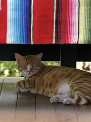 siesta, fiesta (Seakayem) Tags: cat mexico fiesta sleep sony kitteh siesta canberra 135 cloth pentacon f28 slt belconnen catportrait a55 bokehmonster