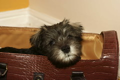 Meet Willow (ratboy2008) Tags: dog puppy miniature schnauzer industar 5035 dyxum backtothe50s