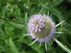 (ela_s) Tags: kwiaty lato szcze canons90 szczepospolita