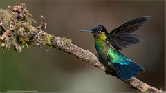 Fiery-throated Hummingbird (Raymond J Barlow) Tags: green bird costarica hummingbird wildlife adventure 200400vr nikond300 raymondbarlowtours