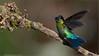 Fiery-throated Hummingbird (Raymond J Barlow) Tags: green bird costarica hummingbird wildlife adventure 200400vr nikond300 raymondbarlowtours