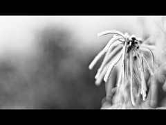 Face Hugger (PhotoJunket) Tags: bw plant cold frost freezing ely cambridgeshire hoar facehugger softrime fenriverway hmbt