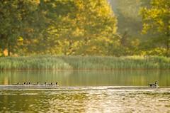 Schlei:52  Week 45 (MatkirschPhoto) Tags: morning autumn light sun tree bird nature water sunrise geese duck nikon october wildlife balticsea goose tamron70300 schlei d7000