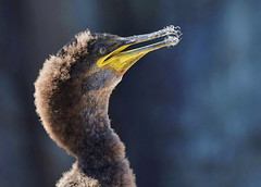 LEARNING TO PREEN By Angela Wilson (angelawilson2222) Tags: ocean light sea wild nature photography islands wildlife feathers young preening cliffs inner northumberland national trust shag juvenile farne rspb