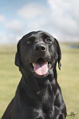 Black Labrador (simonjollyphotography) Tags: simonjollyphotography sony a77v slt 1650mm ssm lens dog black labrador scotland gairloch sunny