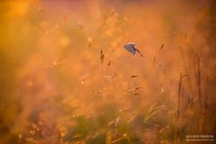 Chaleur (Tintin44 - Sylvain Masson) Tags: argus butterfly champ couchant sunset chaleur gramine k3 papillon pentax soleil tamron90 t lahaiefouassire paysdelaloire france fr
