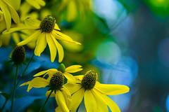 Flores del Estio (marcus turkill) Tags: flowers flores nikon nikond3300 naturaleza nature daisy macro macrofotografia macrophotography margarita madrid blue yellow