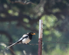 Yellow-billed Magpie (J.B. Churchill) Tags: alameda birds ca california corvidae crowsjays minesroad places taxonomy ybma yellowbilledmagpie