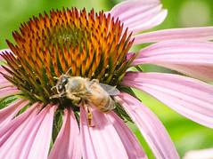 Coneflower with bee (hickamorehackamore) Tags: 2016 ct coneflower connecticut echinacea haddam nwf nikon backyard bee certified habitat native summer wildlife