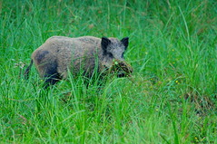 Sanglier (Phil du Valois) Tags: sanglier faune sauvage libre domaine chambord wild wildlife free pigtail boar