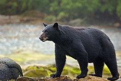 The Big Guy (Blingsister) Tags: americanblackbear blackbear bear maleblackbear blingsister melanieleesonwildlifephotography canon7dmarkii canonef100400mmf4556lisiiusm northernvancouverisland