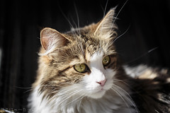 I've been misery'n. Does it have to be? (miyukiz4 su ood) Tags: cats cat kitten  gttino chaton gatito ktzchen gatinho