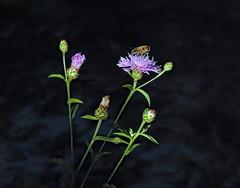 Ultimi raggi di sole (conteluigi66) Tags: fiore fiori ale pianta insetto raggio luce ombra luigiconte calmo clu blue azzurro