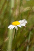 Even If I Feel Like Half of Me, There is a Whole. (Kitsanne) Tags: daisy wildflowers gardenflowers white yellow half nikon d80 composerpro lensbaby plasticoptic kenkoextension