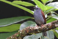 Myadestes ralloides (Wilmer Quiceno) Tags: myadestesralloides andeansolitaire solitarioandino columpio sanmiguel caldas aves birds birding