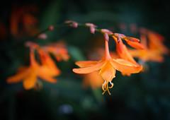 Crocosmia (judy dean) Tags: judydean 2016 sonya6000 hidcote garden crocosmia montbretia orange