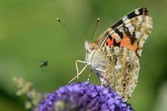 DSC_4265 (sylvette.T) Tags: butterfly 2016 paintedlady belledame vanessacardui vanesseduchardon nikon papillon moustique insecte