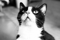 buster (jojoannabanana) Tags: 3662016 blackandwhite cat eyes face monochrome nose tuxedocat whiskers