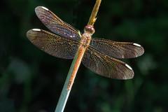 dragonfly (mishko2007) Tags: korea dragonfly 105mmf28