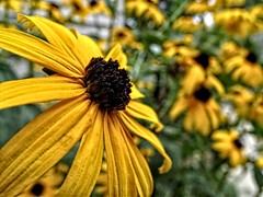 wings (Lana Pahl / Country Star Images) Tags: blackeyedsusan petals dof garden highsummer flowerbed macroflowers macrodreams hdr