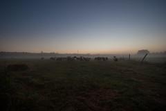 Heijerhof te Baexem (Charlotte Heynen - www.studiofotozo.nl) Tags: boerderij schapen vee vrijheid biologisch goedleven freedom nature natuur biological farm animals