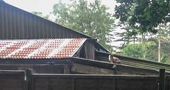 GAM Day 232 cat on a hot tin roof (gamulryan) Tags: cat tinroof