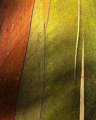 Eucalyptus perriniana detail 2 (CactusD) Tags: apple iphone 6plus london kewgardens gumtree eucalyptus trees detail texture botanic garden perriniana