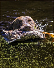 Chesapeake with Water Fetch (rdocgar) Tags: second chesapeake with water fetch september 2016