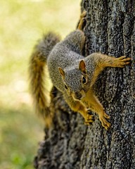 You Looking at Me? (brev99) Tags: squirrel tree trunk blur tamron180f35 180 topazdetail woodwardpark tulsa tail bokeh selectivefocus perfecteffects10 ononesoftware d7100 ngc highqualityanimals