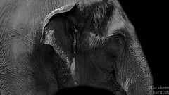 Old Elephant (Ibraheem Kurdieh) Tags: elephant old sad skin uniqueaward wild wildlife eye eyes focus powershot powershotsx260 photography animals nature sx260 flickr12days zoo closeup blackandwhite black blinkagain blackwhite natural