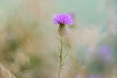 Alone In The Wind (Anna Kwa) Tags: silybum milkthistle wild flower bokeh weeds thorns shenandoahnationalpark virginia usa annakwa nikon d750 afsnikkor70200mmf28gedvrii my live hearts always thought memories seeing heart soul throughmylens travel world abrahamlincoln