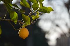 AMARILLO (Santiago Mederos) Tags: lemon limon sol arbor limonero jugo fruta