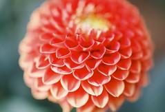 dahlia (naaaommmi) Tags: japan flower spring tsumami