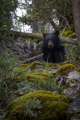 Black Bear at Johnston Canyon (owenweberlive) Tags: bear black blackbear wildlife banff johnstoncanyon canada