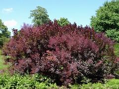 Lisle, IL, Morton Arboretum, Royal Purple Smoke Bush (Cotinus coggygria) (Mary Warren (7.3+ Million Views)) Tags: lisleil mortonarboretum nature flora leaves foliage green plant bush royalpurplesmokebush cotinuscoggygria