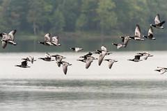 Barnacle Geese in flight (Sigurd R) Tags: barnaclegoose brantaleucopsis semsvannet asker autumn bird birds flock hvitkinngs norge norway water akershus no