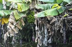 Bananas do lago (série com 2 fotos)  //  Lake Bananas (series with 2 photos) (Parchen) Tags: banana cachodebananas cachosdebananas bananeira bananal bananas lago verde verdes musa musacavendishi musaparadisiaca musasapientum nomecientífico musaceae água foto fotografia imagem registro parchen carlosparchen musaspp fruta frutas