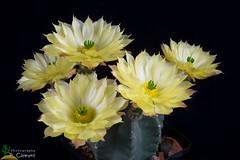 Echinocereus subinermis (clement_peiffer) Tags: echinocereus subinermis d7100 105mm nikon cactus fleurs flower flowerscolors