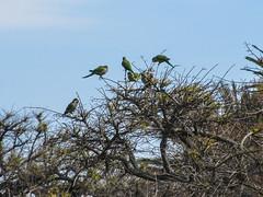"""Colonia del Sacramento: de petits oiseaux verts dans le quartier historique <a style=""""margin-left:10px; font-size:0.8em;"""" href=""""http://www.flickr.com/photos/127723101@N04/29414411320/"""" target=""""_blank"""">@flickr</a>"""
