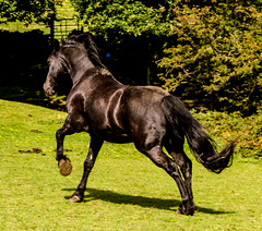 black beauty crop (PDKImages) Tags: horse equine beauty black gallop movement animal run sleek blackbeauty yorkshire